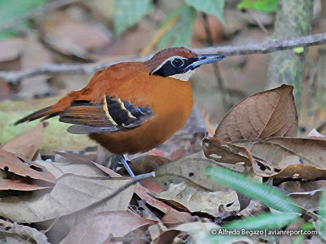 female-cordillera-azul-antbird