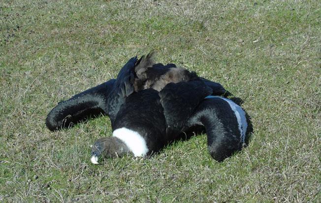 condor andino envenedado