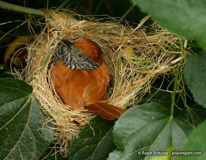 reproducción en las aves