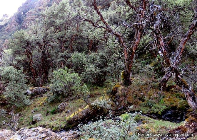 interior-bosques de polylepis