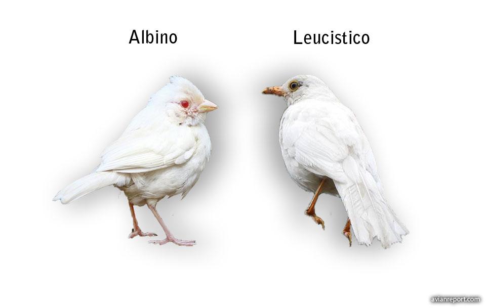 albinismo en aves