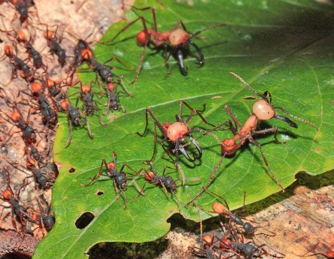 hormigas militares