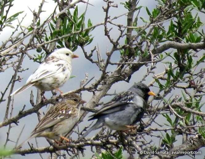 leucismo en aves