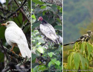 aves leucisticas