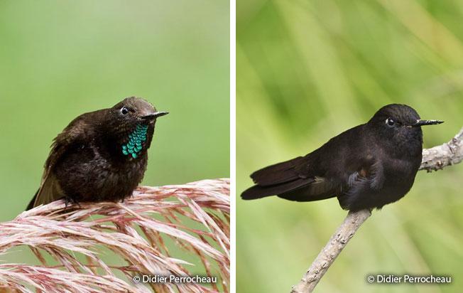 Colibri Negro