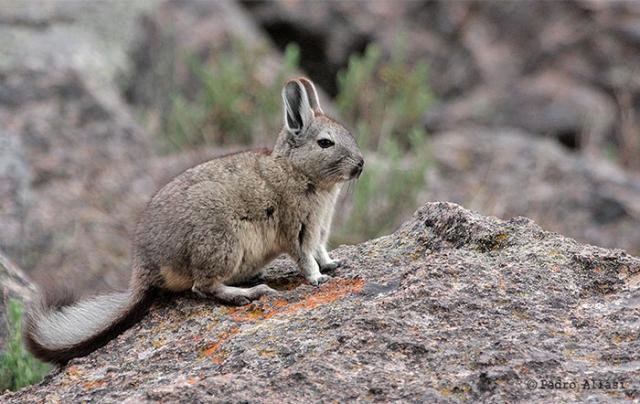 Viscacha  Salinas y Aguada Blanca