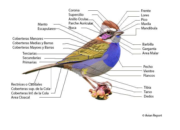 Partes Y Plumas De Un Ave Avian Report