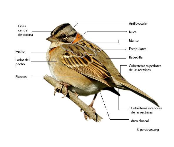 partes y plumas de un ave