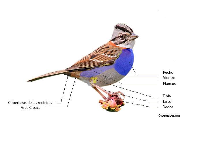partes inferiores y plumas
