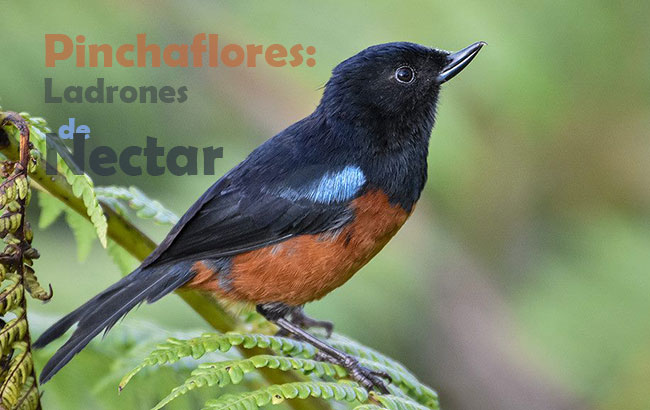 pinchaflores ladrones nectar