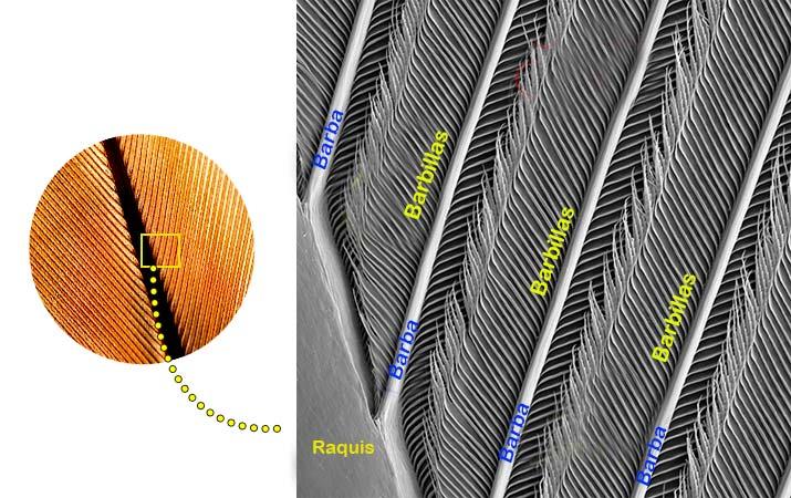 vista microscopica de una pluma