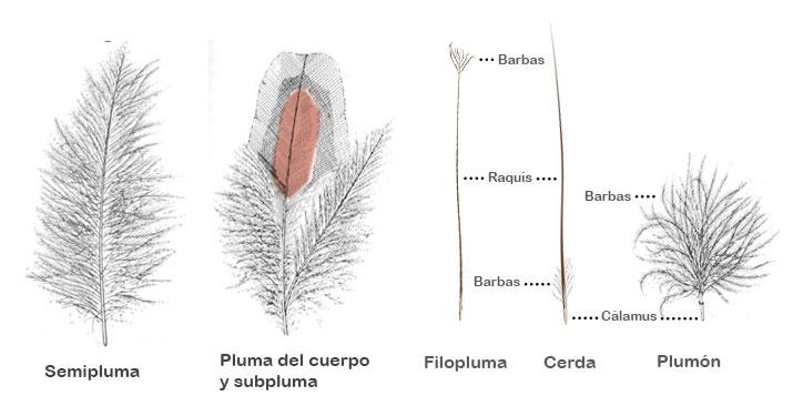 plumas del cuerpo