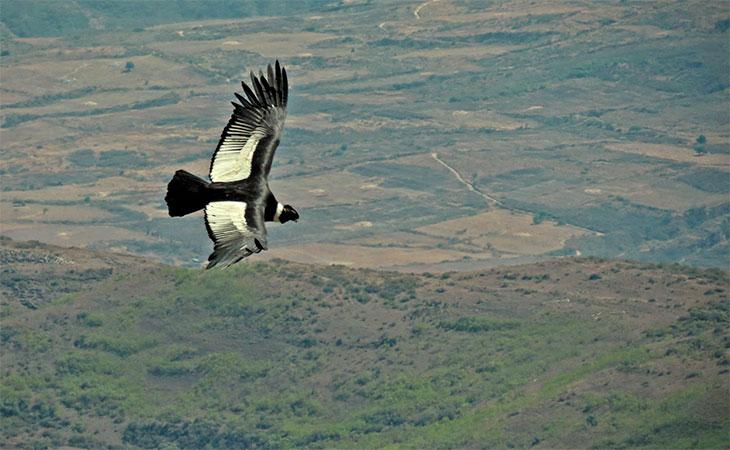 condor andino buitre americanos