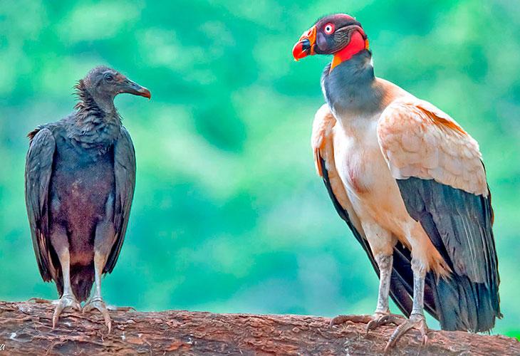 Buitres Americanos: Zopilotes, Gallinazos, Jotes y Condores