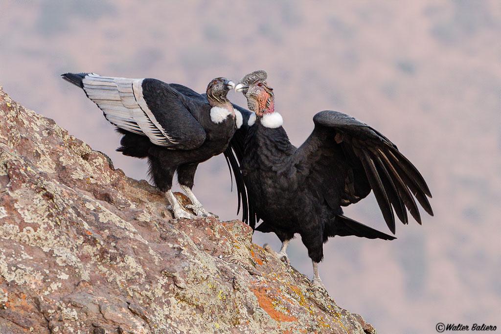 fotografiando-condor-andino-chile