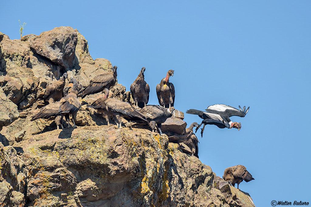condor andino en chile