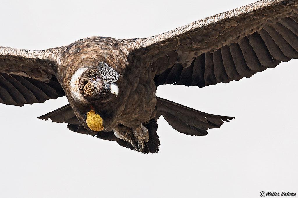 condor andino juvenil