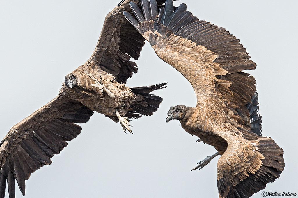 condor aandino cerca a santiago chile