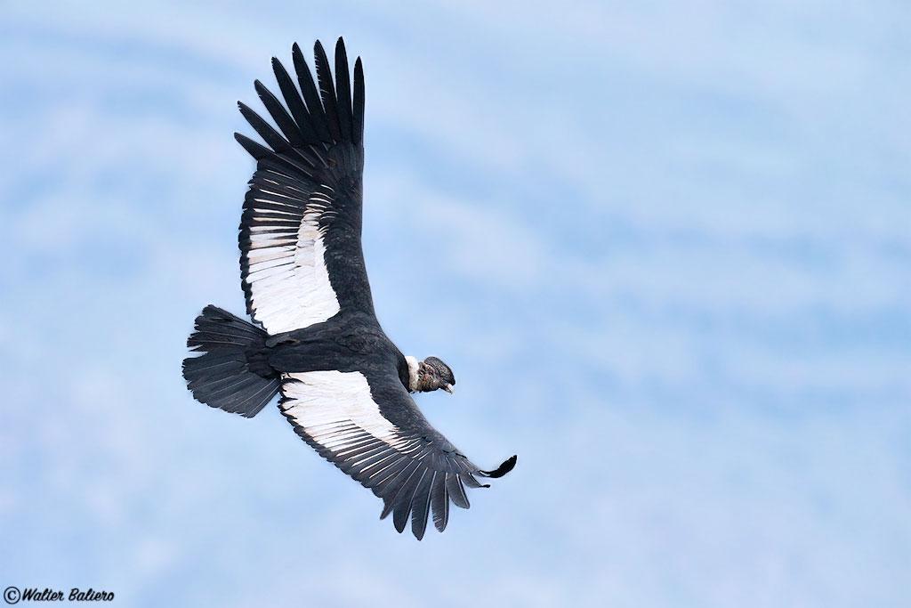 Macho adult condor andino
