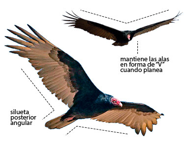 gallinazo de cabeza roja en vuelo