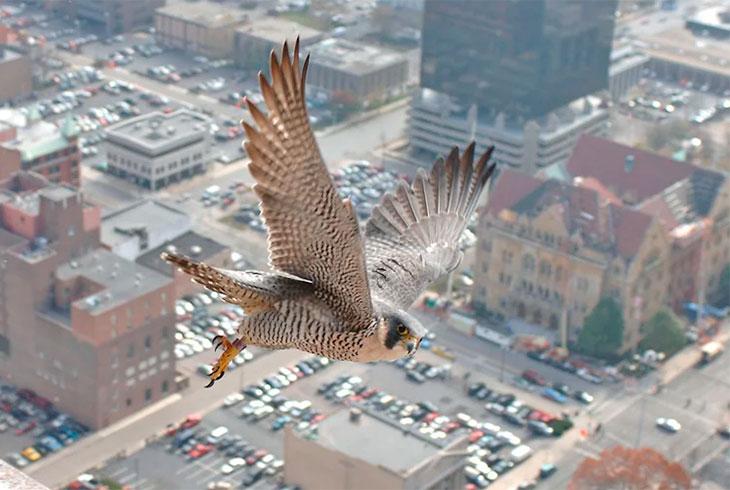 halco peregrino en la ciudad