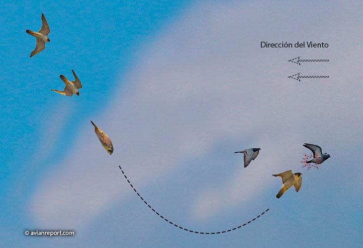 estrategia de caza halcon peregino