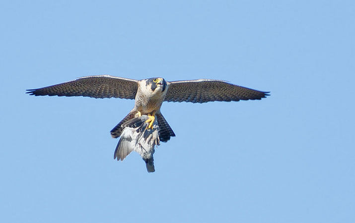 alimentacion presa halcon peregrino