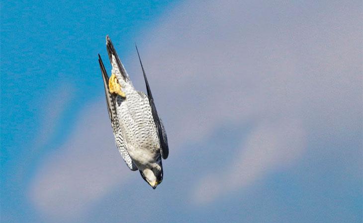 halcon peregrino en picada
