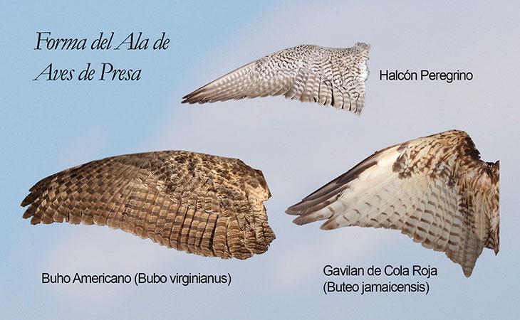 adaptaciones del halcon peregrino