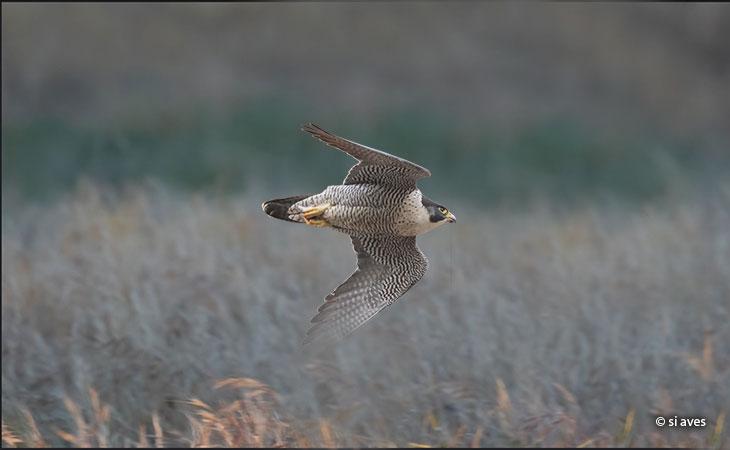 estrategias-caza-halcon-peregrino