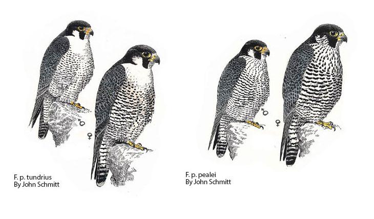 tipos-subespecies de halcón peregrino